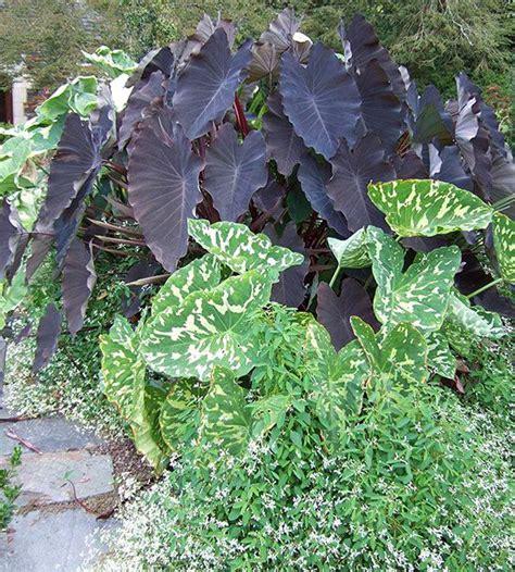 best fertilizer for elephant ears 17 best images about plants for moist soil on pinterest