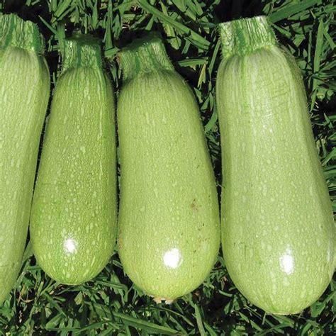 Light Green Squash by Zucchini Italian Light Green Zucchini Australian Seed