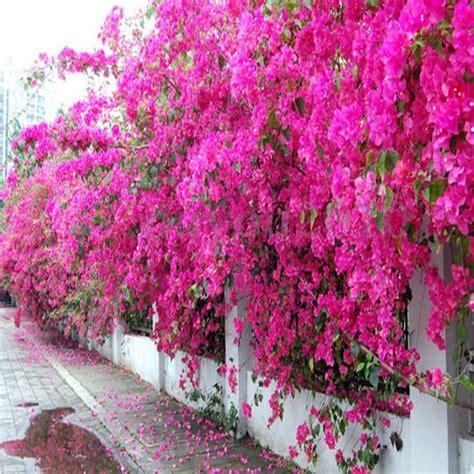 bougainvillea colors best 25 bougainvillea tree ideas only on