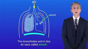 Gcse Science Biology  9-1  Gas Exchange In The Lungs