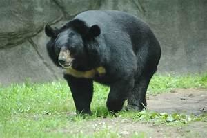 Himalayan Black Bear » Philadelphia Zoo Gallery
