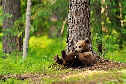 Bears Brown Cubs Tree Wallpapers Animals Trunk