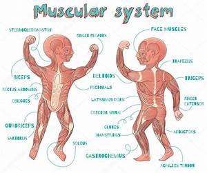 Vector ilustración de dibujos animados de sistema muscular humano para niños Archivo Imágenes