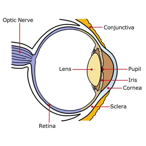 Eye Diagram To Label Kifd by Orientation Mobility Family Booklet
