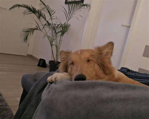 Schornsteinsanierung Das Ist Zu Beachten by Umzug Mit Hund Das Ist Zu Beachten Collie Fans De