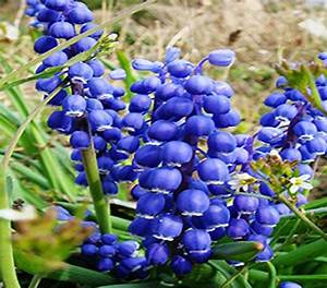 Blue Lily Ambizu Rare Blue Flower Goddess Lily of