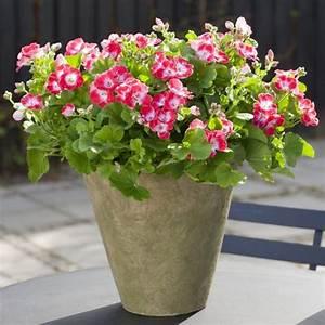 Gut Riechende Zimmerpflanzen : pelargonien als zimmerpflanzen sch nheit und eigenschaften ~ Markanthonyermac.com Haus und Dekorationen