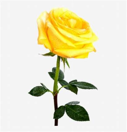 Yellow Rose Single Background Transparent Interlude Between