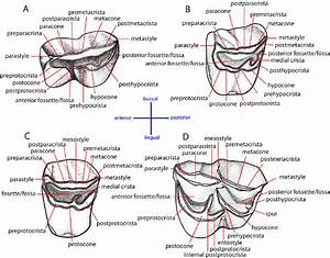 Dental Nomenclatures Of Upper Cheek Teeth Of Ruminants  A