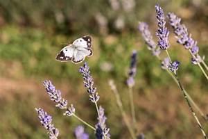 Schmetterlinge überwintern Helfen : lavendel im topf pflegetipps und wichtige fakten ~ Frokenaadalensverden.com Haus und Dekorationen