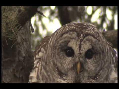 barred owl amazing vocals youtube