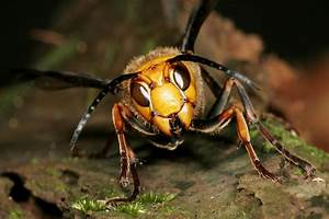 World U0026 39 S Biggest Hornet Kills