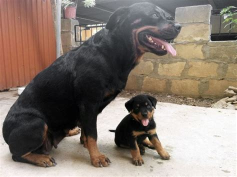 Baby Rottweiler Wants To Play With His Parents Rottweiler Pinterest Baby Rottweiler
