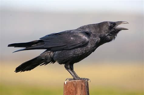 62 Best Ravens Images On Pinterest