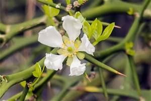 Pflanze Mit Stacheln : zitronenbaum mit stacheln das sollten sie wissen ~ Frokenaadalensverden.com Haus und Dekorationen