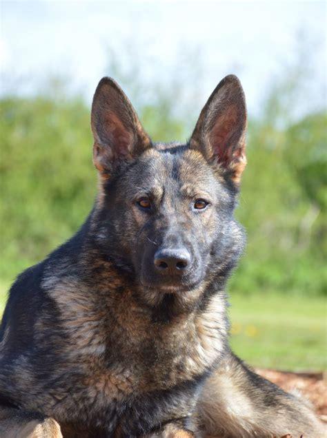 elite protection dog yamas  sale uk
