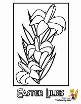 Coloring Lily Flower Easter Bible Yescoloring Plant sketch template