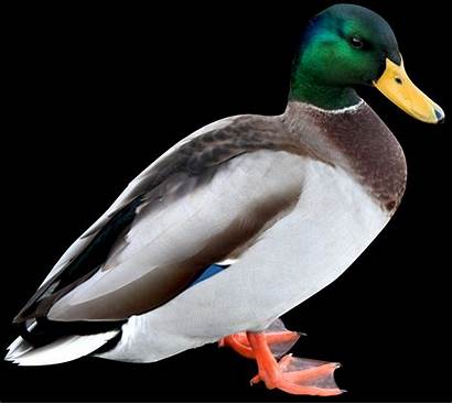 Duck Meaning Dream Symbol Word Symbolism Weknowyourdreams