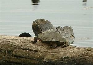 Mississippi Map Turtle photo - RED SLOUGH WMA photos at ...