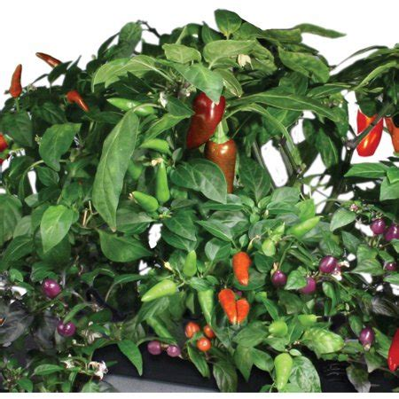 miracle gro aerogarden chili peppers  pod seed kit