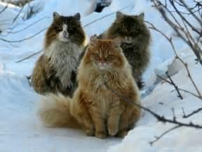 forest cat kittens forest cats jeg elsker norge