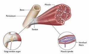 Understanding The Stretch Reflex  Or Myotatic Reflex