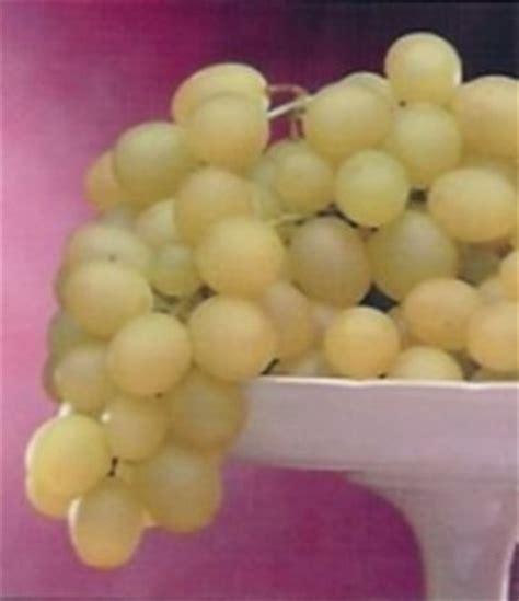 varietà uva da tavola variet 224 uva da tavola uva