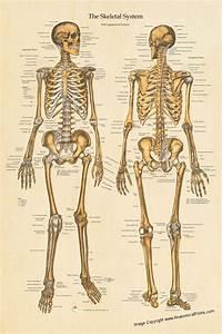 Human Skeletal Anatomy Poster Anterior And Posterior Views