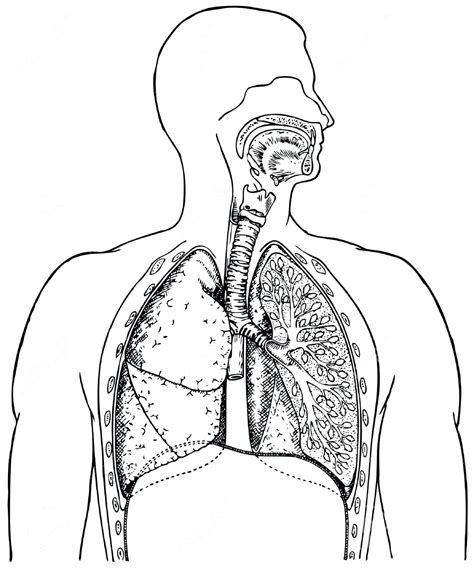 Human Diagram Unlabeled by Respiratory System Diagram Black And White World Of
