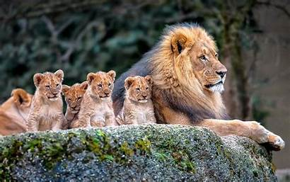 Animals Nature Lion Desktop Backgrounds Wallpapers Mobile