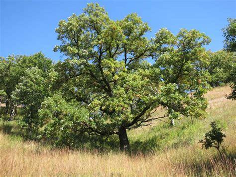 savanna oak oak savannas characteristics restoration and long term management