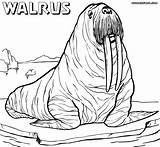 Walrus Coloring Pages Drawing Realistic Sheet Animal Drawings Getdrawings Designlooter Colorings sketch template