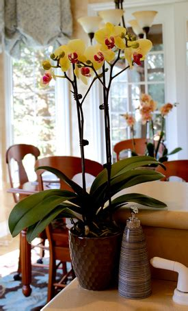 orchids temperature orchid light and temperature orchid care just add ice orchids