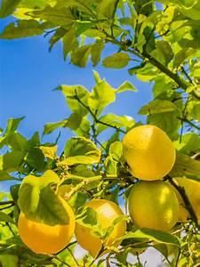 Dünger Für Zitronenbaum : der zitronenbaum mittelmeer flair f r zu hause der ~ Watch28wear.com Haus und Dekorationen