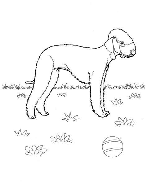 coloring page bedlington terrier