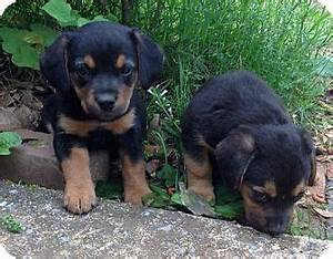 Rexford, NY - Rottweiler. Meet Rottie/Hound mix pups a Dog ...