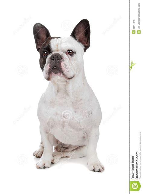 French Bulldog Isolated On White Royalty Free Stock P O Image