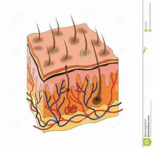 Skin anatomy stock illustration. Illustration of dermis ...