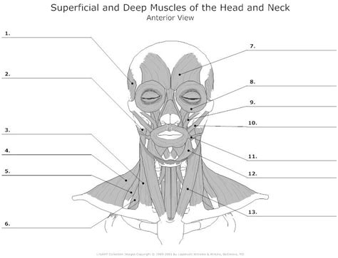 blank and neck muscles diagram muscles