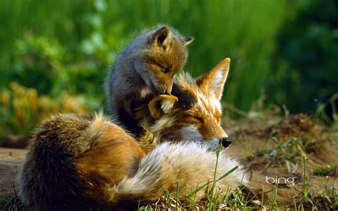 Fox Animal Wallpaper - fox hd wallpaper and background image 1920x1200