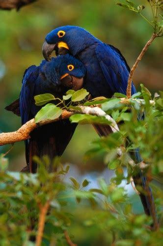 hyacinth macaws pantanal brazil art wolfe