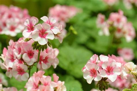 geraniums and mosquitoes repelling mosquitos with geraniums thriftyfun
