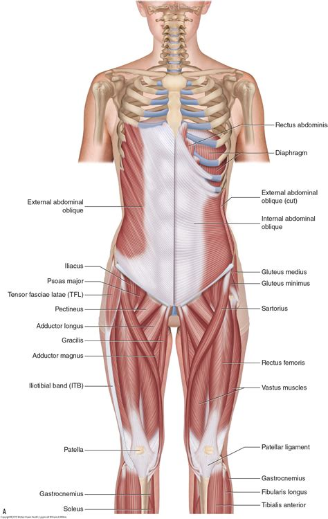 Back anatomy, back anatomy drawing, back anatomy muscles, back anatomy organs. Muscles of the Lumbar Spine of the Trunk