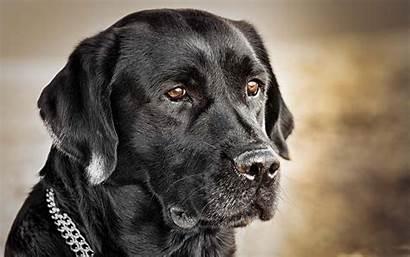 Labrador Retriever Wallpapers Background Allwallpaper Pc Dogs