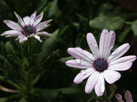 grow  care  african daisies osteospermum