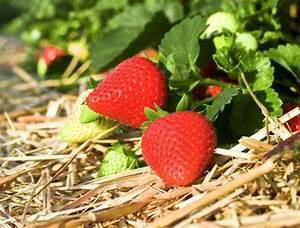 Erdbeeren Pflanzen Die Wichtigsten Tipps : erdbeeren anbauen erdbeeren anbauen sunny7 erdbeeren ~ Lizthompson.info Haus und Dekorationen