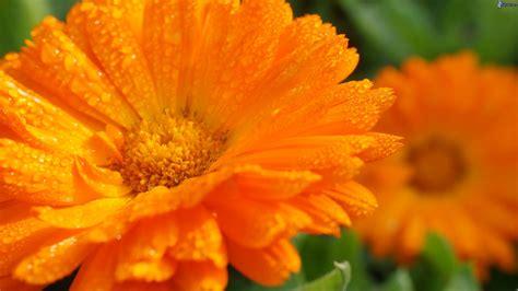 pianta fiori arancioni fiori arancioni