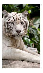 Wallpaper white tiger, nature, wild, animals, Animals #10163