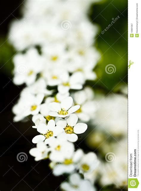 string  white flowers stock image image  flowers