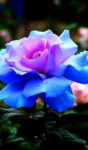 Most Beautiful Blue Rose Flower
